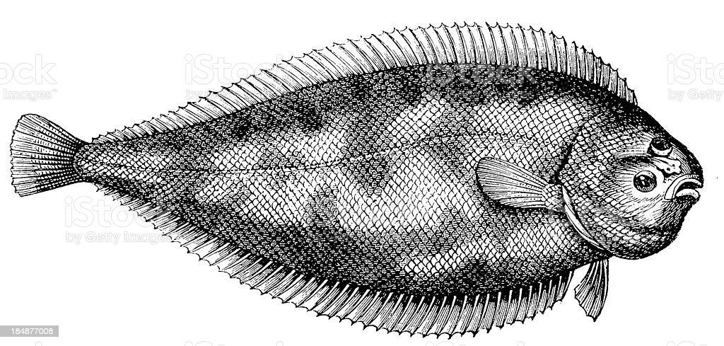 Common or Dover sole (Solea Solea) vector art illustration