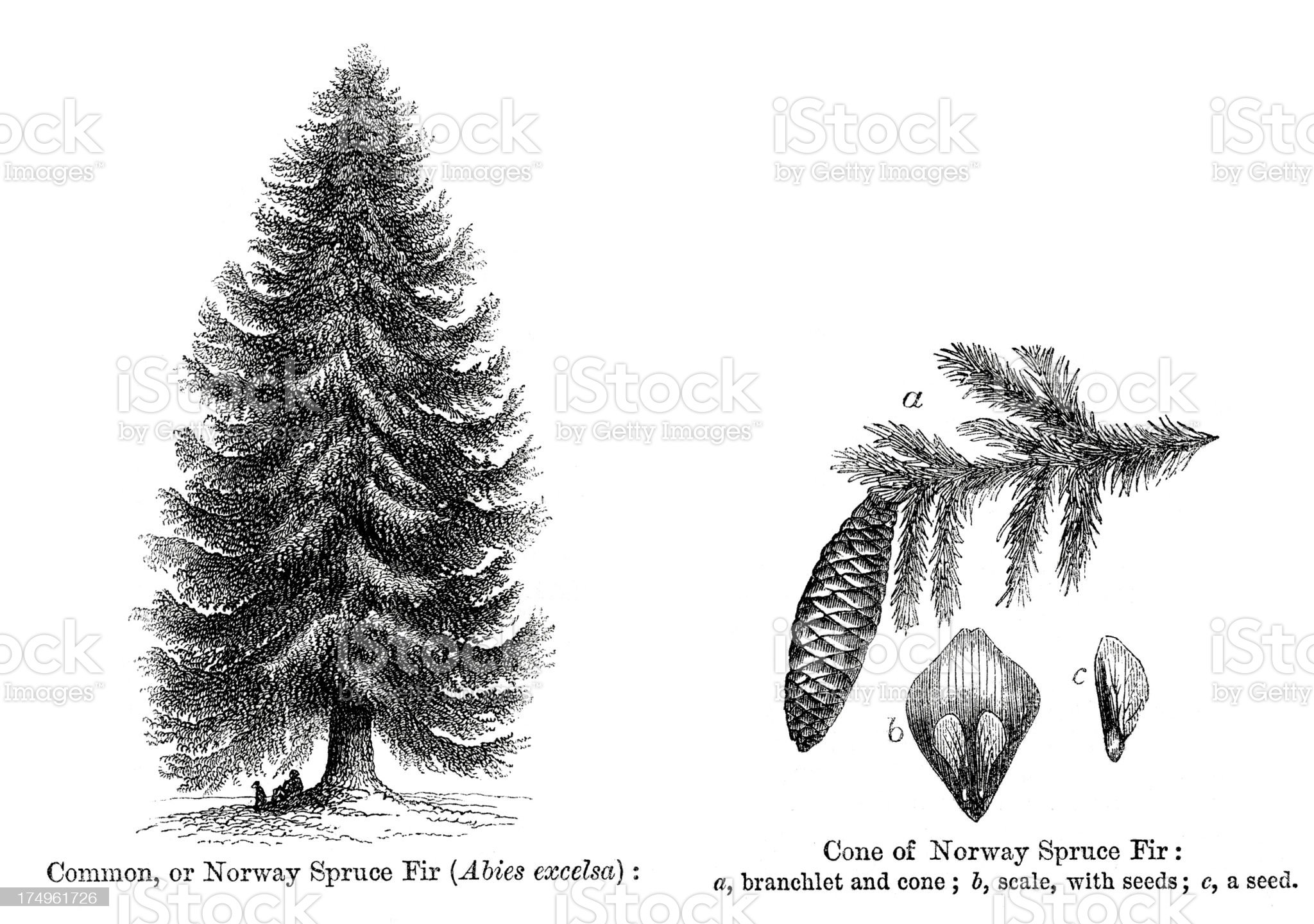 Common or Norway Spruce Fir Tree royalty-free stock vector art