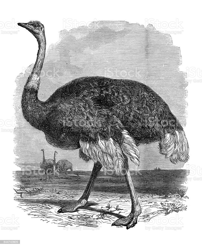 Common ostrich Africa illustration 1881 stock photo