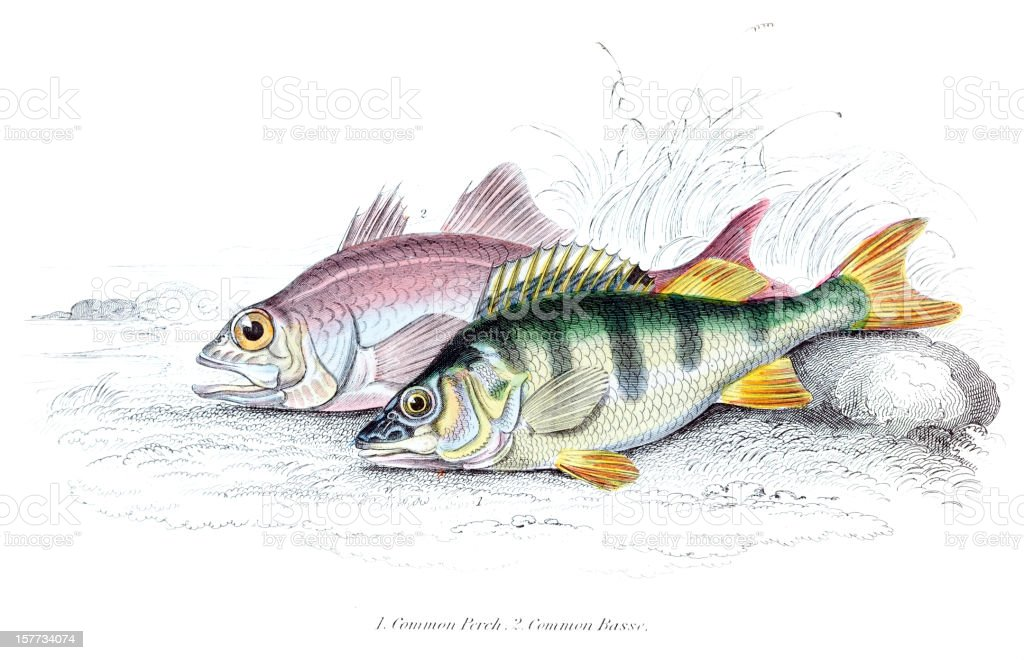 Common Perch and Basse vector art illustration