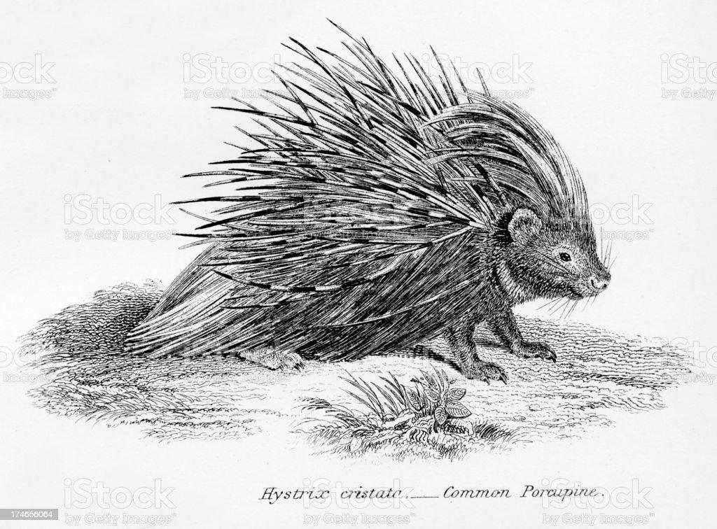 Common Porcupine vector art illustration