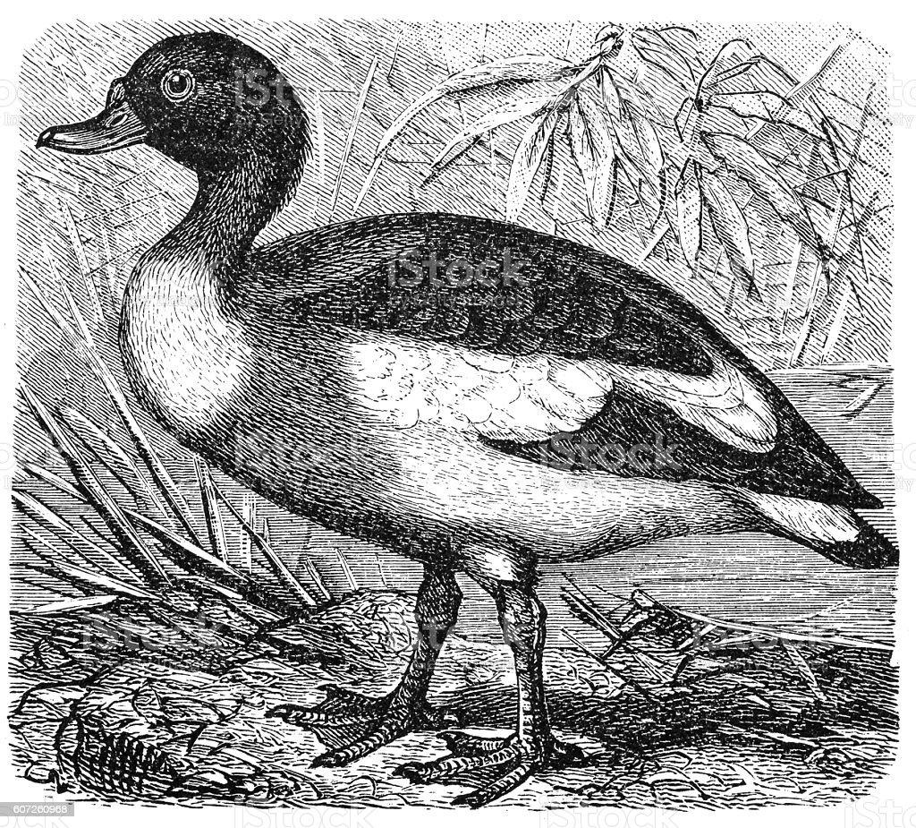 Common Shelduck (Tadorna vulpanser) vector art illustration