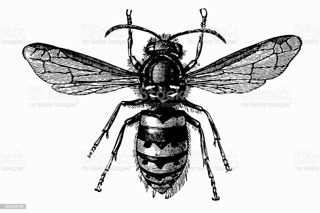 Common Wasp (Vespula Vulgaris) vector art illustration