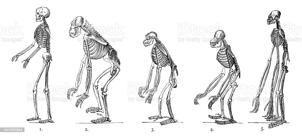 Comparison between human and ape skeleton engraving stock photo