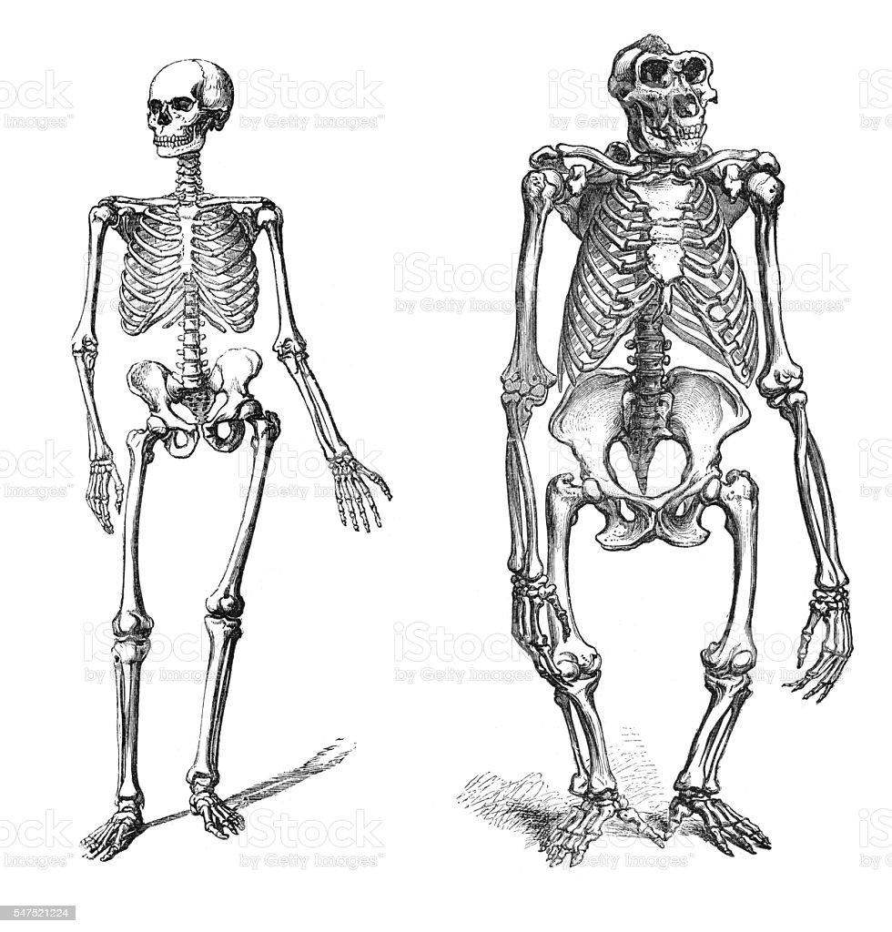 Comparison between human and gorilla skeleton engraving vector art illustration