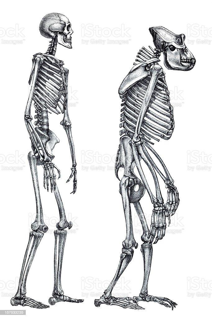Comparison between human and gorilla skeleton royalty-free stock vector art