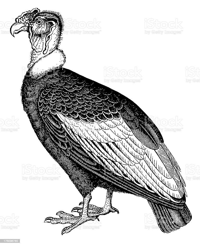 Condor | Antique Bird Illustrations royalty-free stock vector art