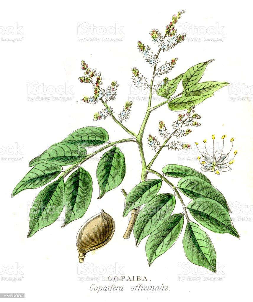 Copaiba botanical engraving 1857 vector art illustration