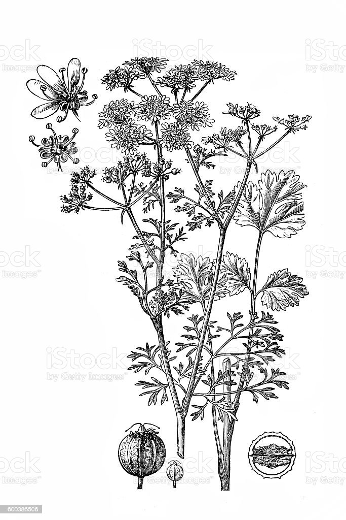 Coriander; Coriandrum sativum vector art illustration