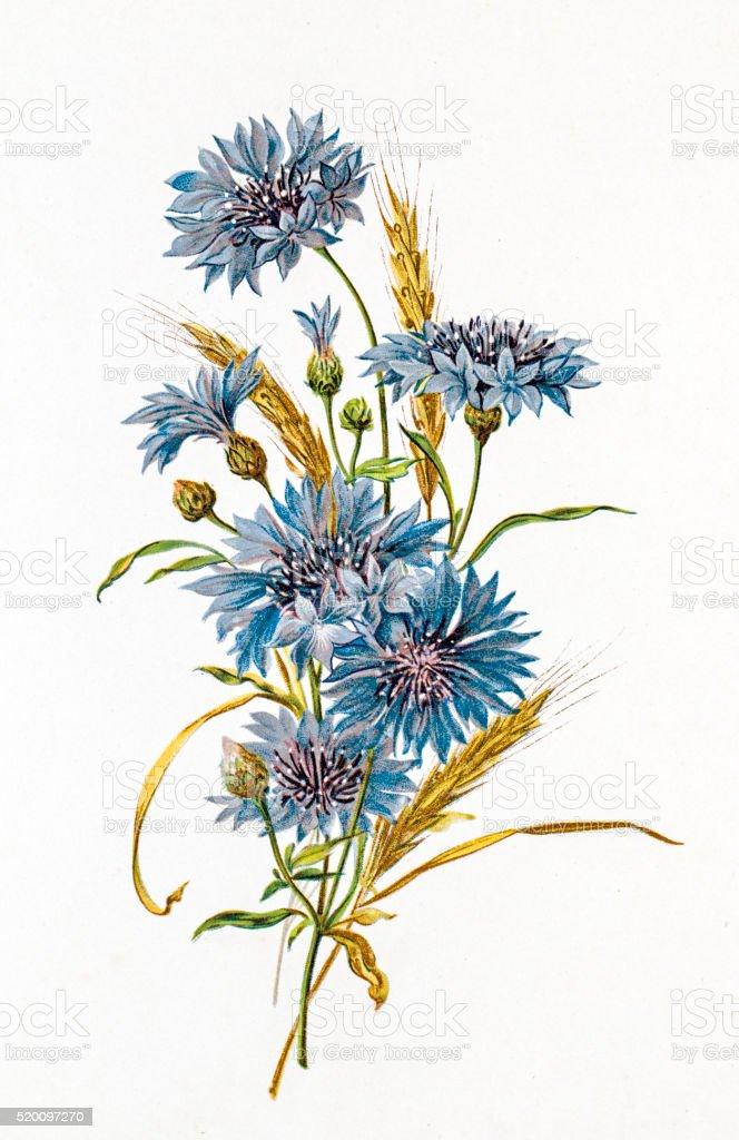 Cornflower and wheat composition 19 century illustration vector art illustration
