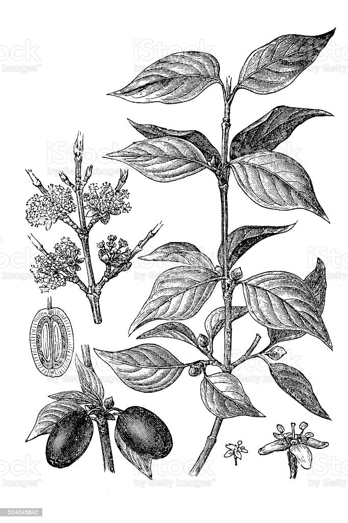 Cornus mas (Cornelian cherry, European cornel, Dogwood) vector art illustration