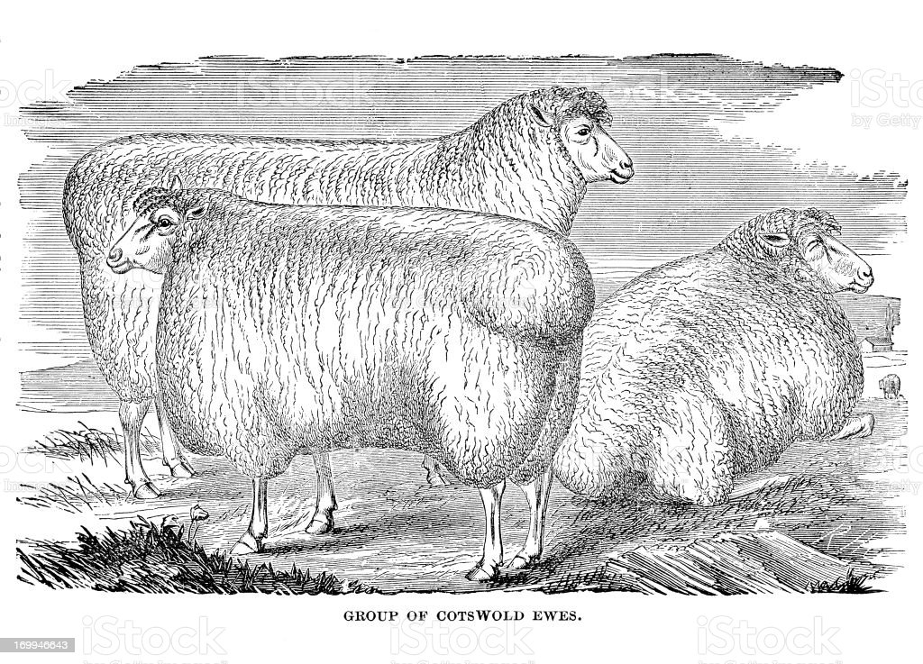Cotswold sheep vector art illustration