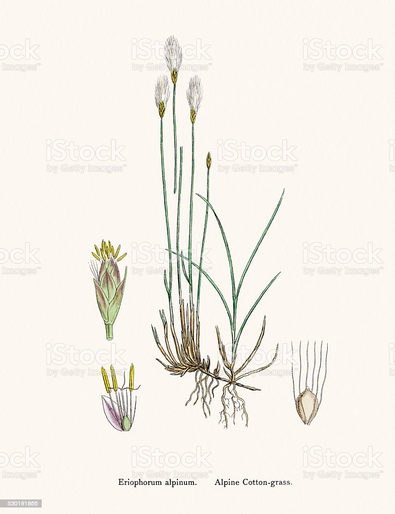 Cotton grass plant vector art illustration