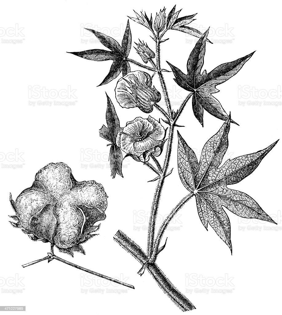 cotton royalty-free stock vector art