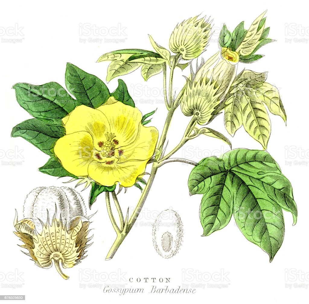 Cotton plant botanical engraving 1857 vector art illustration