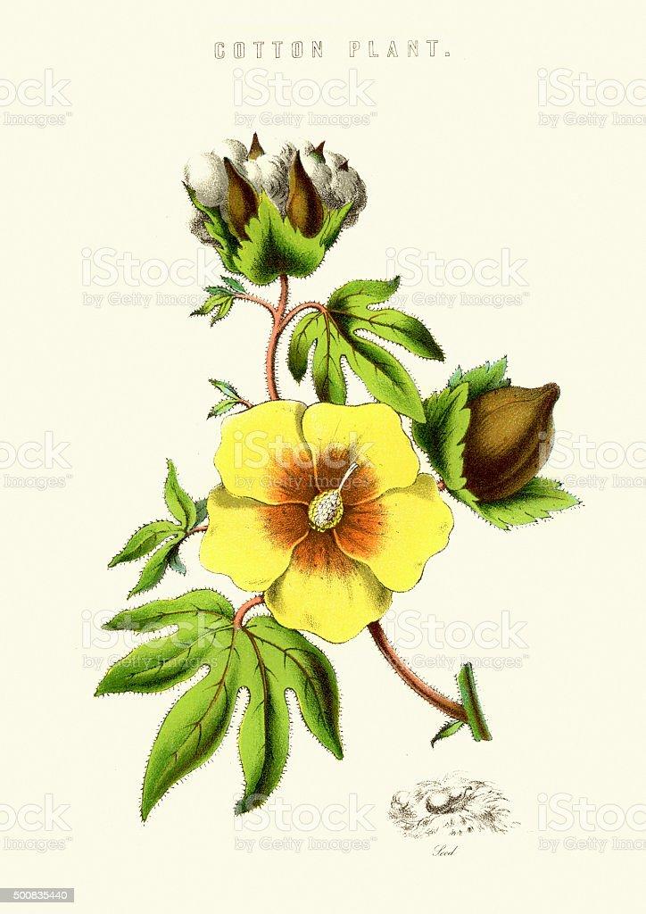 Cotton Plant vector art illustration