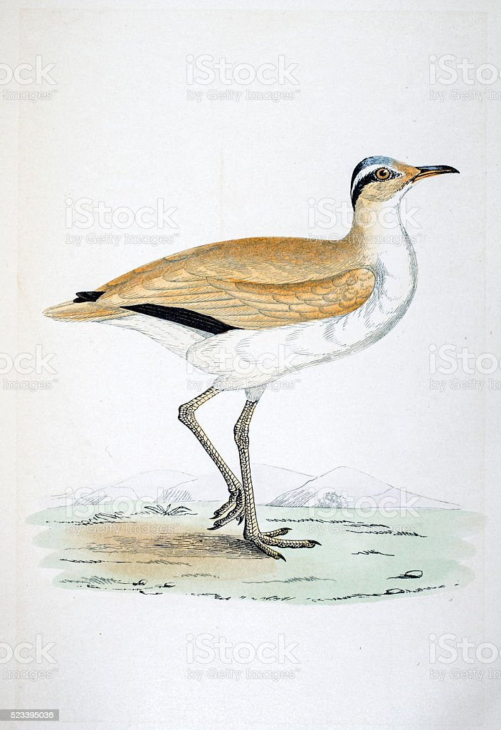 Courser bird 19 century illustration vector art illustration