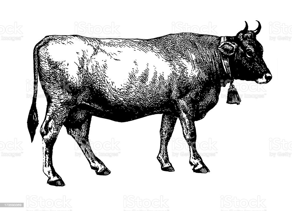 Cow (Isolated on White) vector art illustration