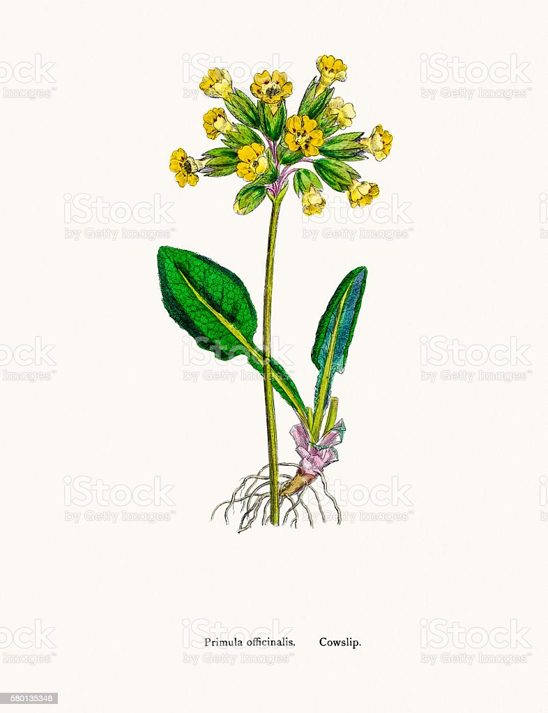 Cowslip Primrose flower vector art illustration