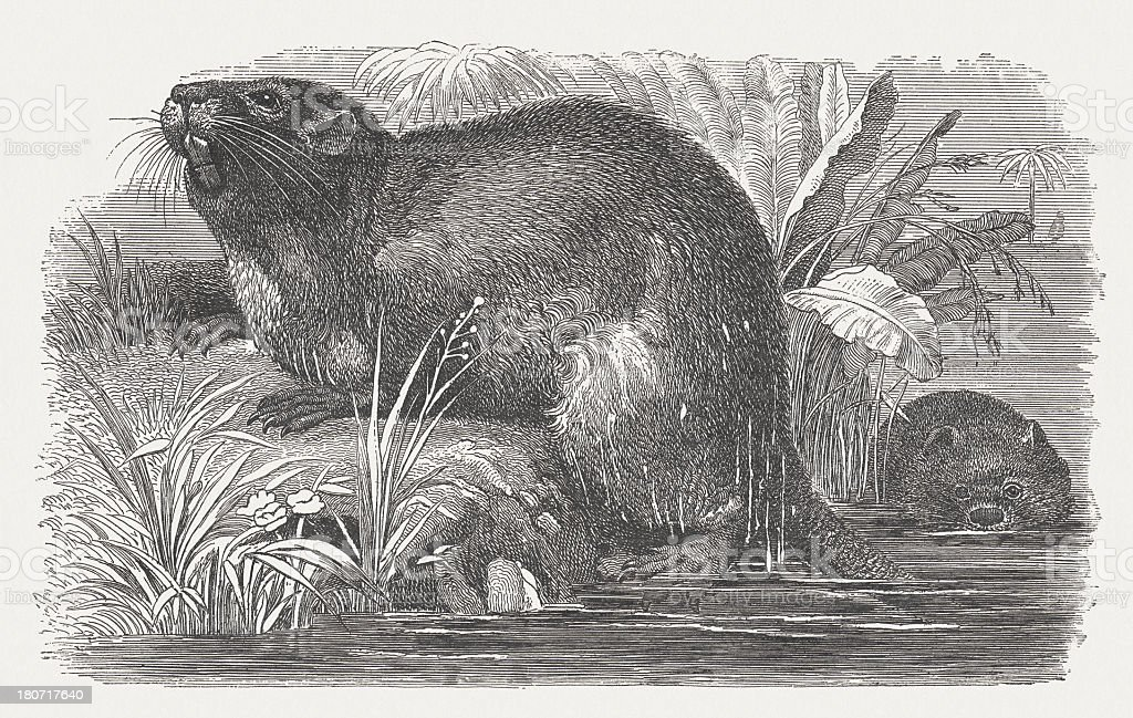 Coypu (Myocastor Coypus), wood engraving, published in 1875 royalty-free stock vector art