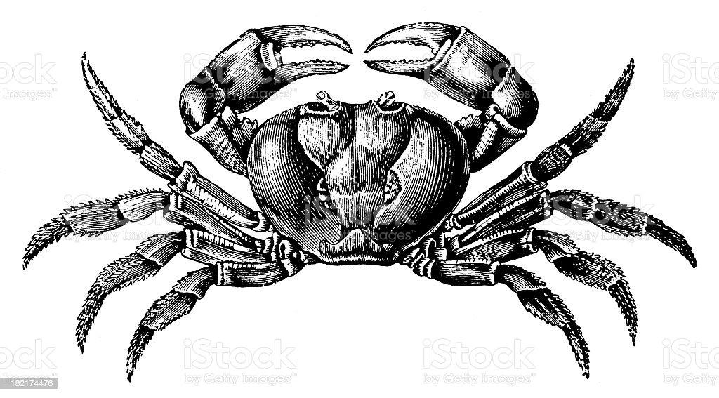 Crab   Antique Animal Illustrations vector art illustration