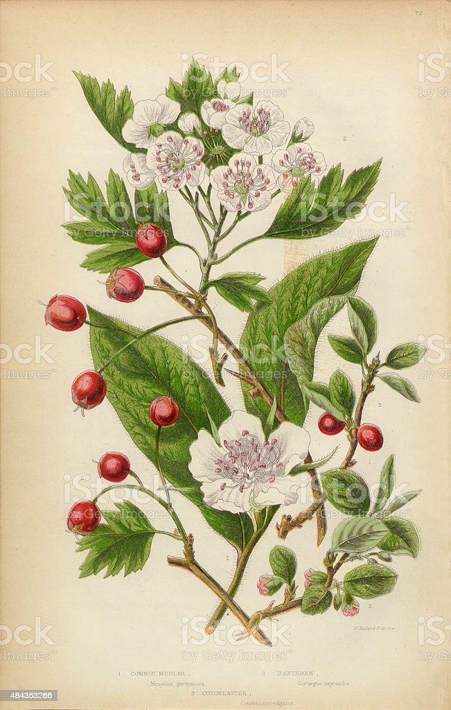 Cranberry, Medlar Fruit, Hawthorne Berry and Cotoneaster, Victorian Botanical Illustration vector art illustration