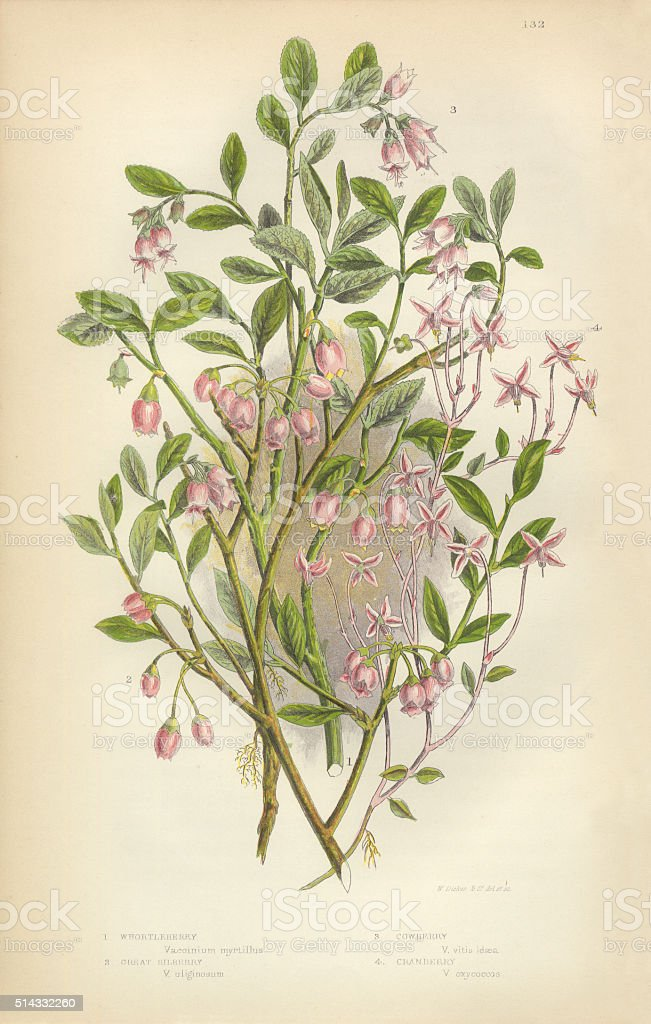 Cranberry, Whortleberry, Bilberry, Cowberry, Lingonberry, Victorian Botanical Illustration stock photo
