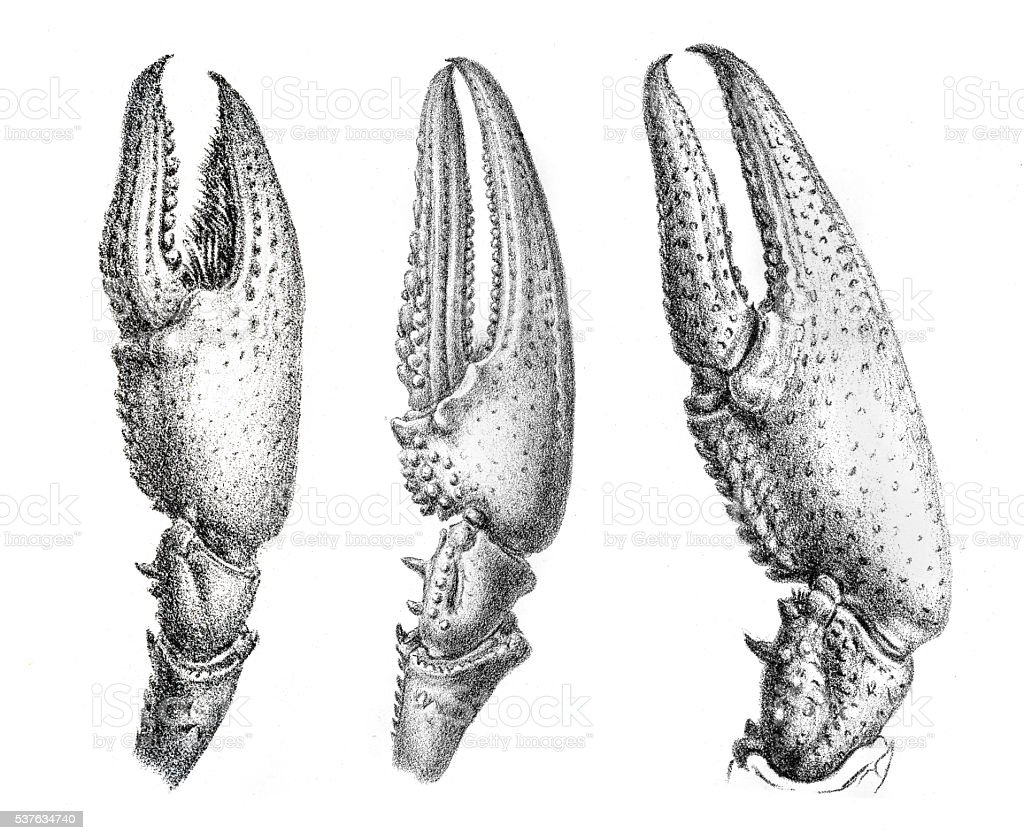 Crayfish claws engraving 1870 vector art illustration