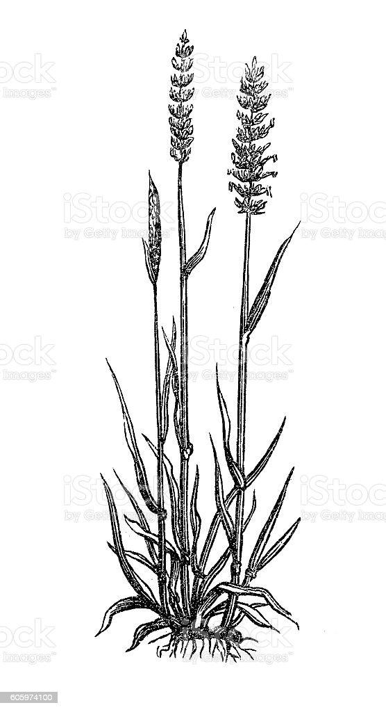Crested dog's-tail (cynosurus cristatus) vector art illustration