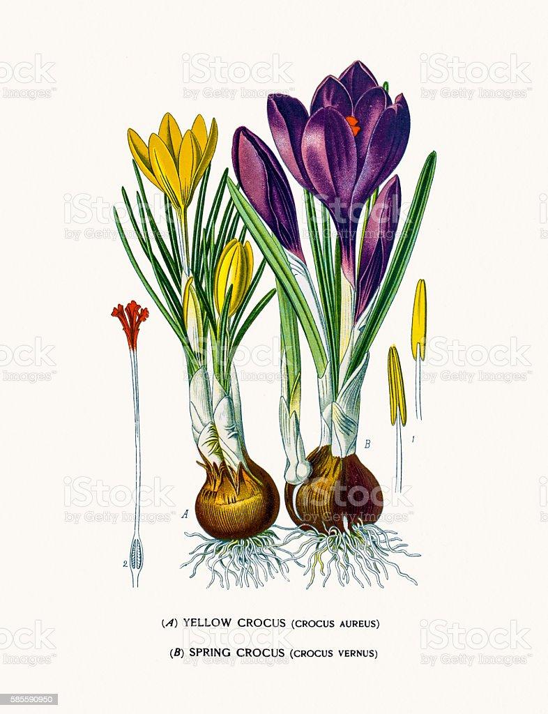 Crocus flowers vector art illustration