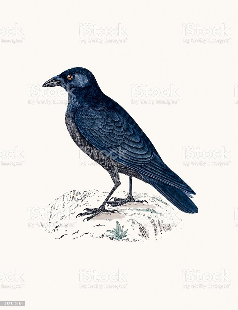 Crow bird vector art illustration