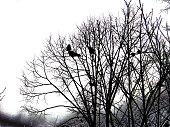 Crow couple on a leafless tree