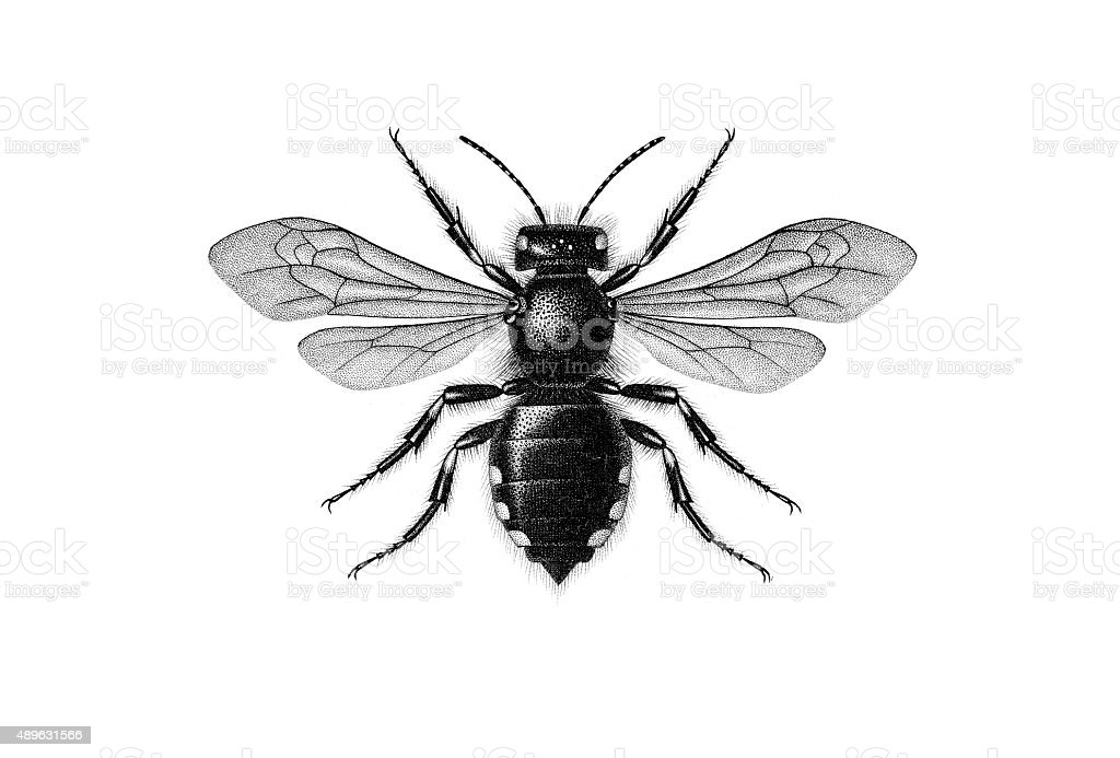 cuckoo bee vector art illustration