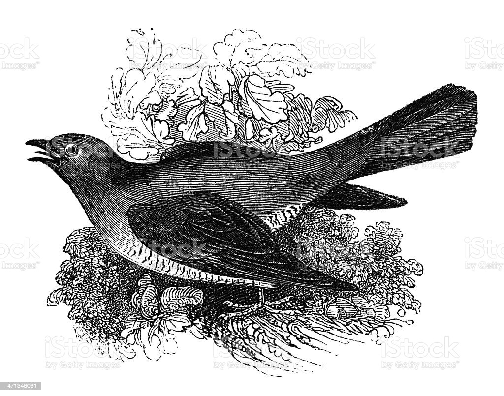 Cuckoo (Victorian engraving) royalty-free stock vector art
