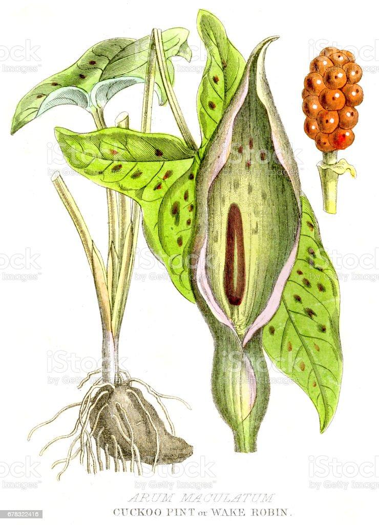 Cuckoo Pint poison plant engraving 1857 vector art illustration