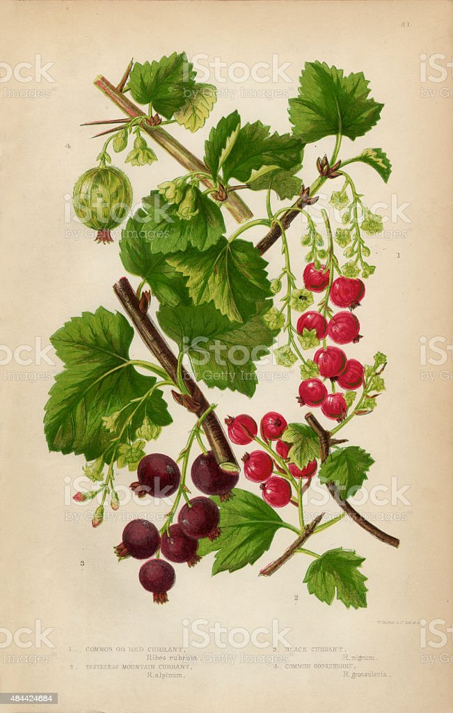 Currant, Red Currant, Black Currant and Gooseberry, Victorian Botanical Illustration vector art illustration