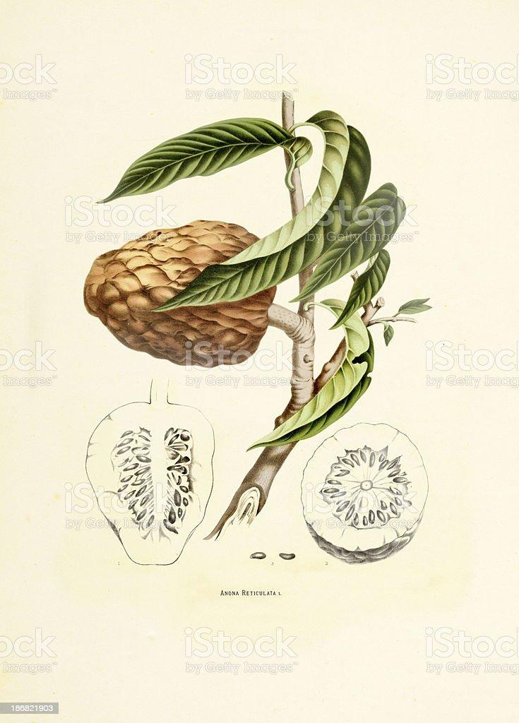 Custard apple | Antique Plant Illustrations vector art illustration