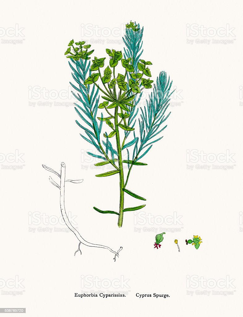 Cyprus spurge medicinal plant with antibacterial and anticancer activity vector art illustration