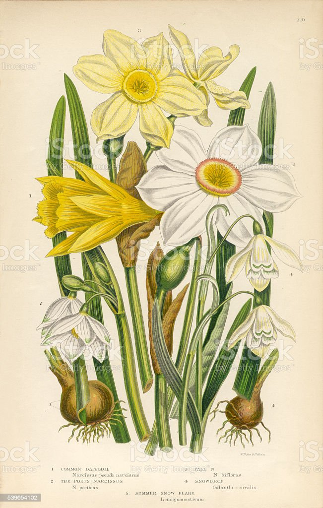 Daffodil, Narcissus, Jonquil, Snowdrop, Buttercup Victorian Botanical Illustration vector art illustration