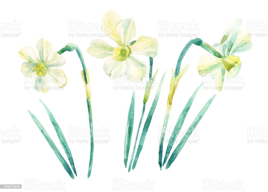 Daffodil watercolor painting set isolated on white background. vector art illustration