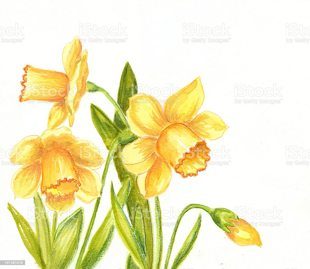 Daffodils Drawing on White Background royalty-free stock vector art