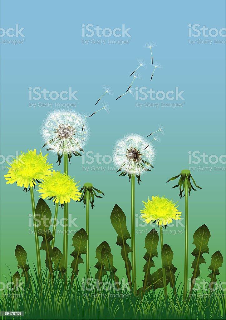Dandelions in summer royalty-free stock vector art