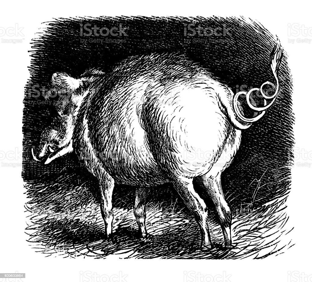 Dark  portrait of pig in a  pigsty - 1867 vector art illustration