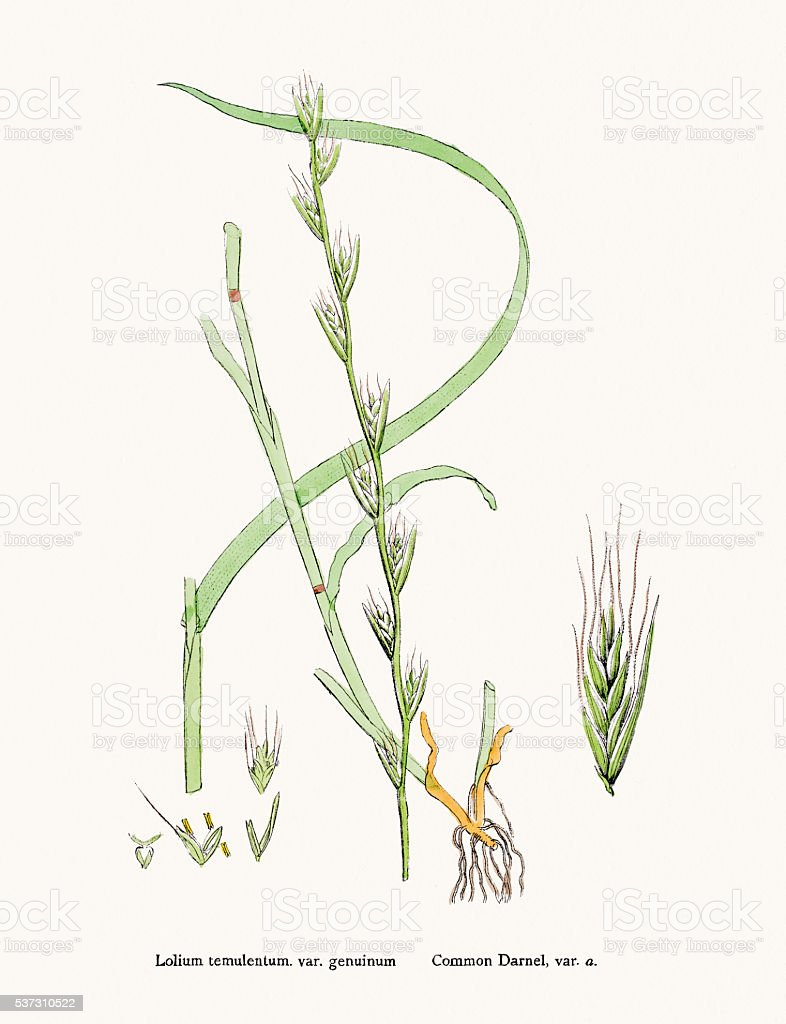 Darnel grass weed vector art illustration