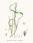 Darnel grass weed