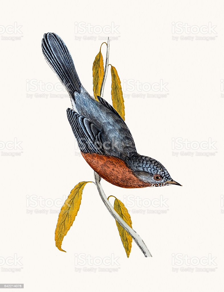 Dartford Warbler vector art illustration