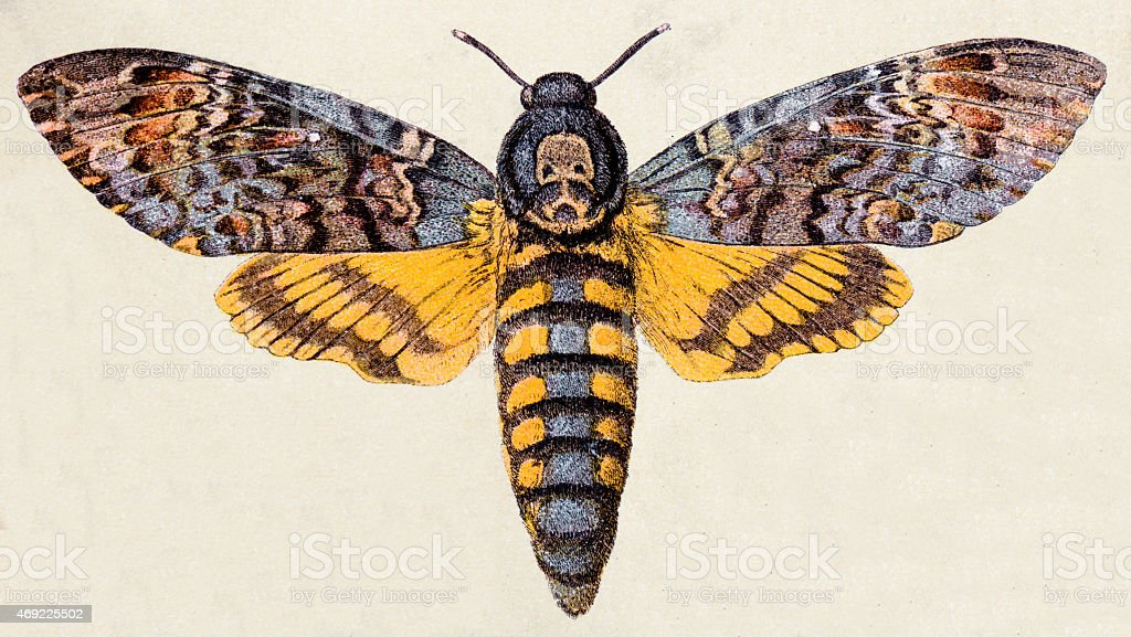 Death's-head Hawk moth (Acherontia atropos), insect animals antique illustration vector art illustration