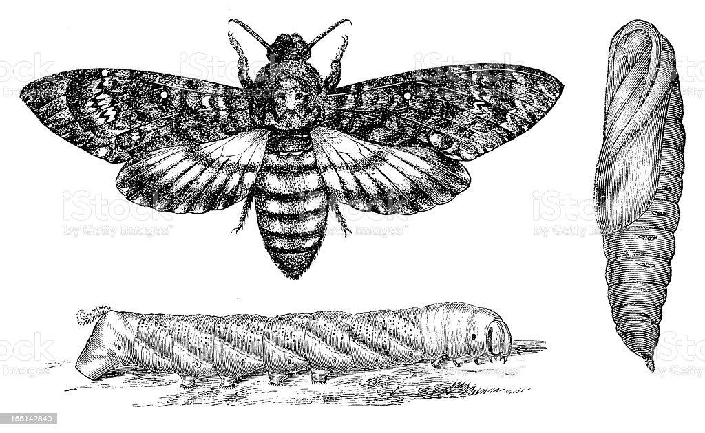 Death's-head Hawkmoth (Acherontia Atropos) vector art illustration