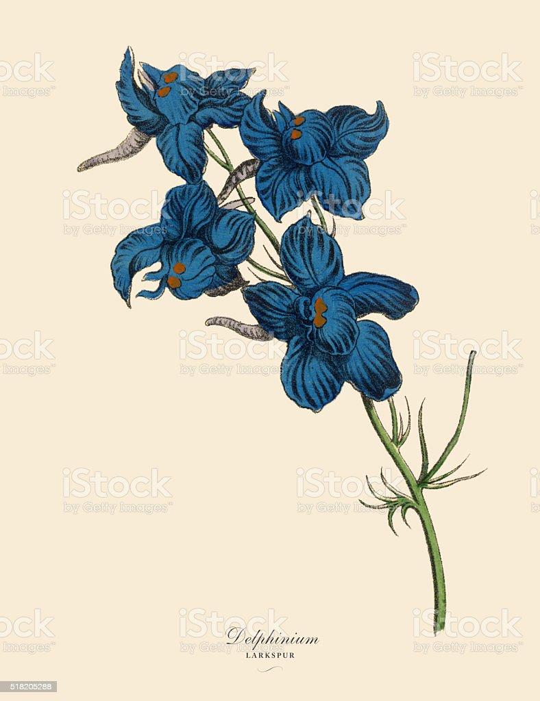 Delphinium or Larkspur Plant, Victorian Botanical Illustration vector art illustration