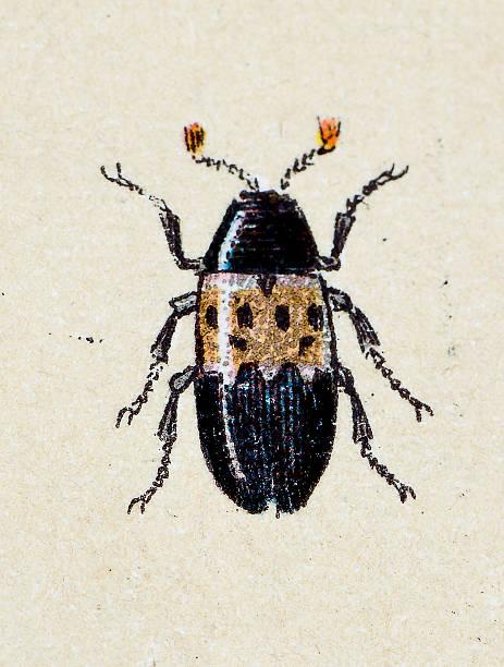 Antique Illustration Of Dermestes Lardarius Bacon Beetle Or Larder